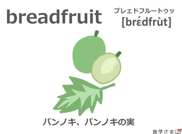 英単語『breadfruit』イラスト・意味