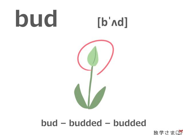 英単語『bud』イラスト