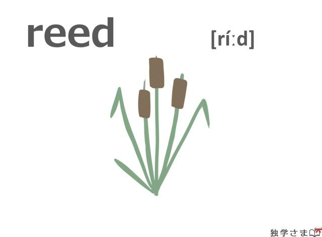 英単語『reed』イラスト