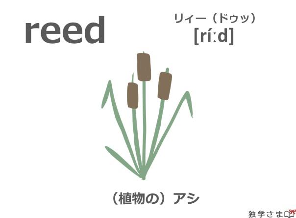英単語『reed』イラスト・意味