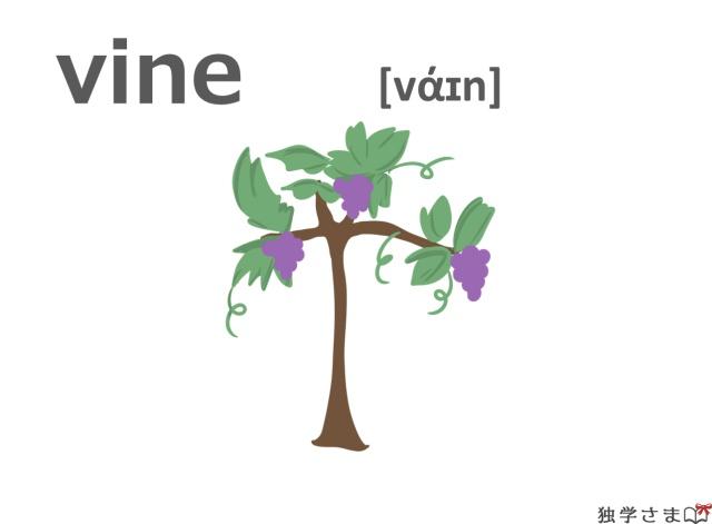 英単語『vine』イラスト