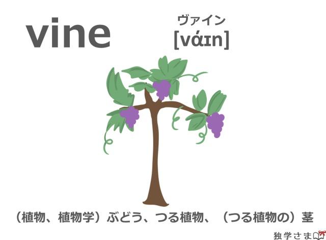 英単語『vine』イラスト・意味・カタカナ